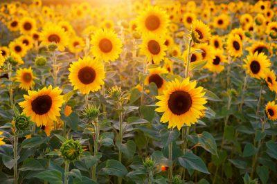B90/Grüne Schulzendorf Sonnenblumen /Symbol der Parte
